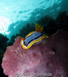 A nice Chromodoris nudibranch perched on a fan. by Chad Ordelheide 
